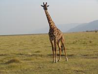 giraff i Lake Manyara