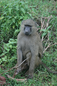 babianer i Lake Manyara