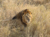TZ-Serengeti-lejon