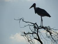 TZ-Serengeti-marabou-stork