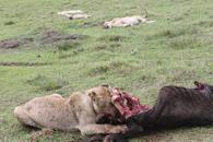 TZ-Ngorongoro-1512-lion