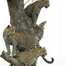 TZ-Serengeti-1512-leopard