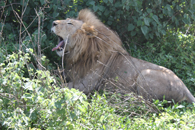 TZ-Serengeti-1512-lion
