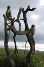 TZ-Serengeti_1512_monkey