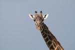 Giraff i Serengeti