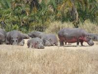 TZ-Serengeti-hippo