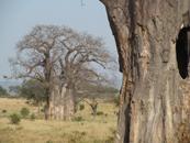 TZ-Tarangire-baobab