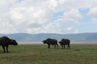 TZ-Ngorongoro-1512-bufflar