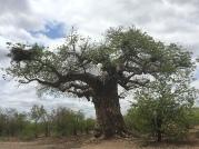 Sydafrika-24-baobab