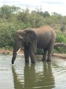 Sydafrika-18-elefant