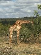 Sydafrika-21-giraff