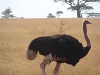 TZ-Serengeti-struts