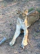 Sydafrika-22-lejon