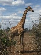 Sydafrika-25-giraff