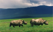 noshörning-svart