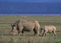 TZ-Ngorongoro-rhino