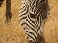 TZ-Serengeti-zebra